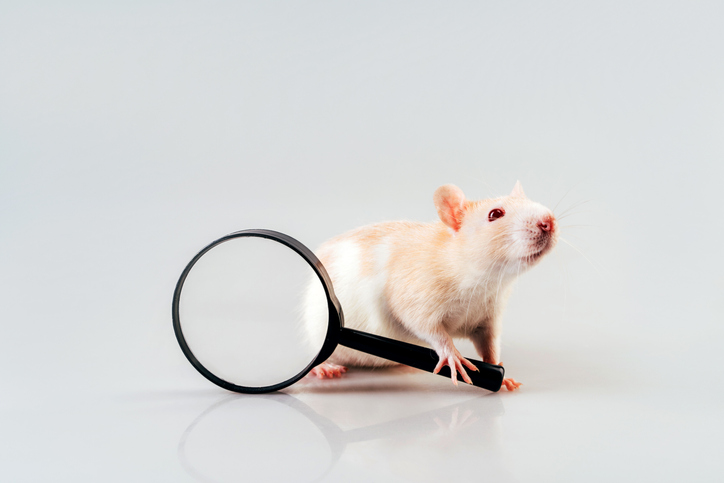 White beige rat sitting with a large magnifying magnifier in its paws